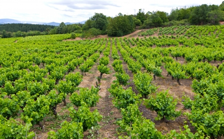A vineyard in the region of Bierzo