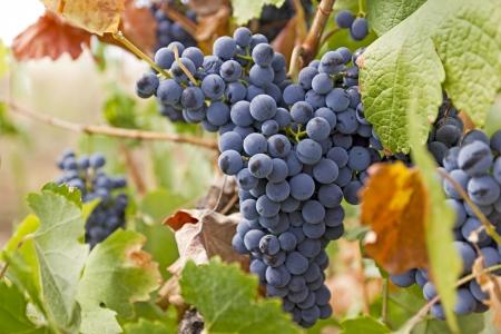 Uvas rojas en la vi�a