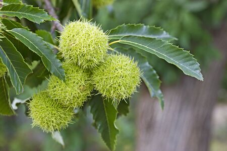 marron: Fresh Chestnuts tree and green leaves