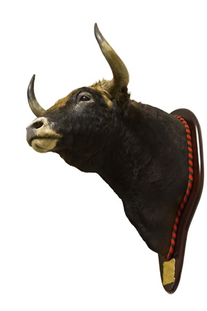 Closeup of a stuffed head of a bull isolated on a white background