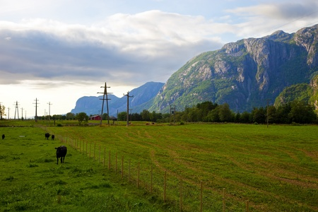Cows in mountain pasture, Norway. photo