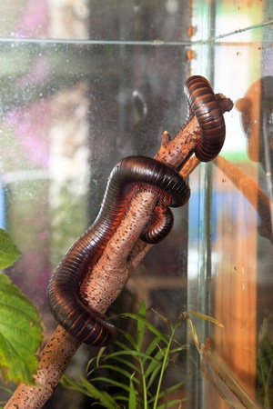 Red coloured millipede climbing up a tree. photo