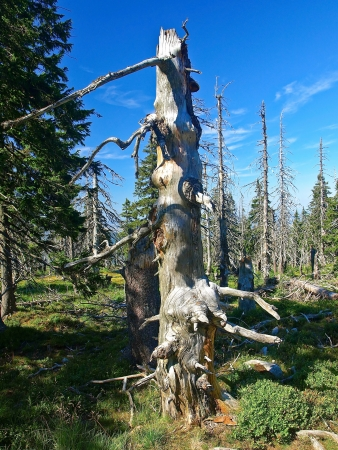 kwaśne deszcze: Wpływ zanieczyszczenia środowiska - martwe drzewo, Góry, Polska Zdjęcie Seryjne