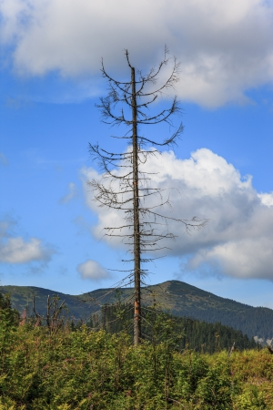 kwaśne deszcze: WpÅ'yw zanieczyszczenia Å›rodowiska - martwe drzewo Tatry, Polska Zdjęcie Seryjne