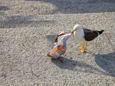 sea pollution: The bird - Seagull searching food in plastic bag. Stock Photo