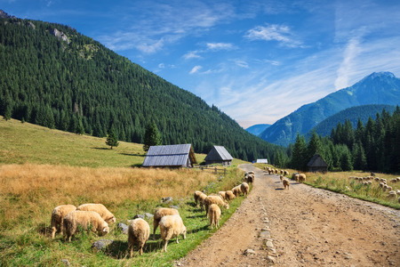 Sheep grazing in Chocholowska Valley in the Tatra Mountains Poland. Stock Photo
