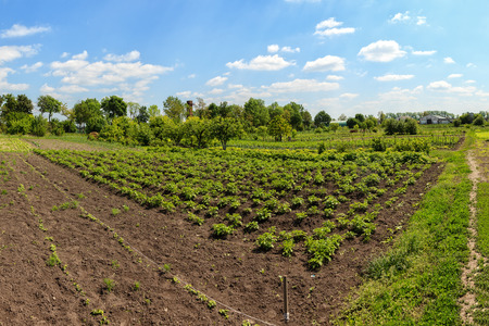 potato field: Potatoes and fruit trees in a vegetable garden. Stock Photo