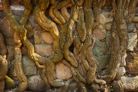 stone wall: Artistic roots covered the old stone wall. Stock Photo