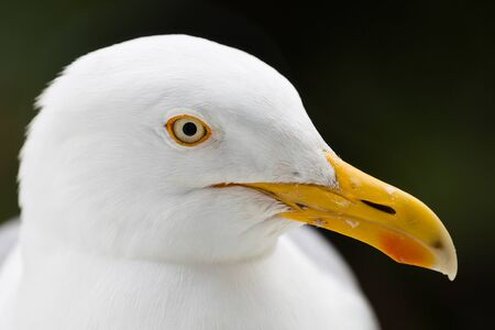 Seagull head close up profile isolated against plain. Reklamní fotografie