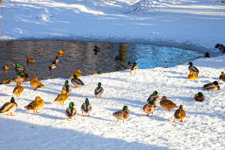 Ducks on the shore of the pond. Reklamní fotografie