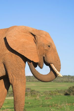 expeditions: African Elephant Stock Photo