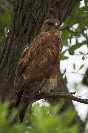 tawny: Tawny Eagle scanning for prey
