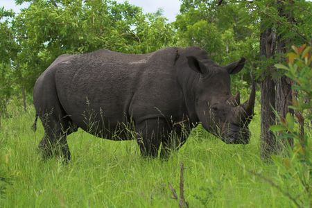 Rhinoceros in the African bush