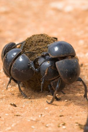 flightless: Rare Flightless dung beetles fighting over a prized ball of dung Stock Photo