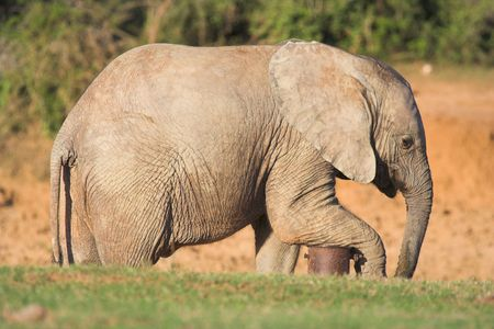 waterpipe: Elephant resting its leg on a waterpipe