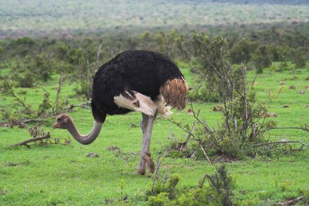 Ostrich feeding on the African plains