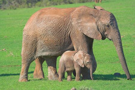 Elephant Mother and
