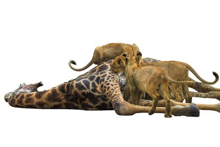 Lions Feasting on a giraffe, Isolated on white background