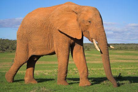 Hombre elefante africano en el c�sped llanuras de �frica  Foto de archivo - 426252