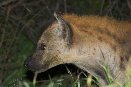 opportunist: Hyaena scavenging