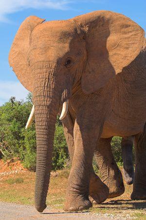 pene: Bull Elephant  Foto de archivo
