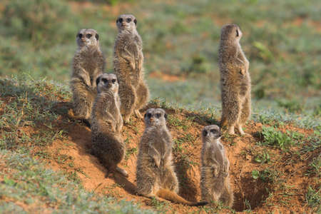Meerkat Family basking in the morning sun