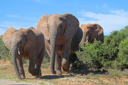 pachyderm: African Elephant crossing the road Stock Photo