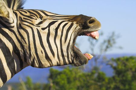 Zebra yawning with its mouth wide open. Good shot for dental projects