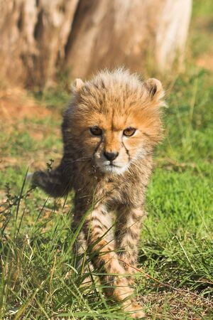 Cub close up stalking the camera photo