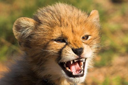 Angry cheetah cub growling photo