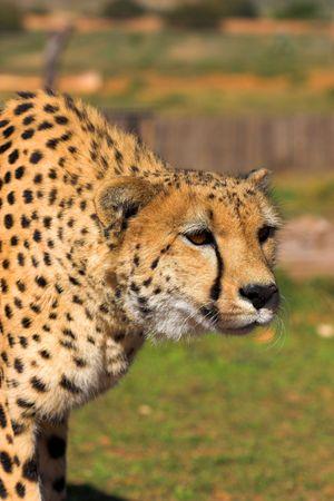 africat: Cheetah stalking prey Stock Photo