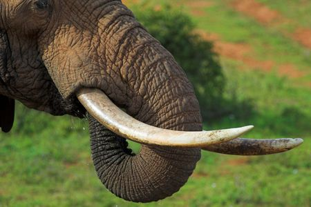 Close up of an African Elephants tusks and trunk, while its drinking