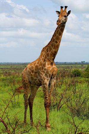animal head giraffe: Giraffe in the African bush