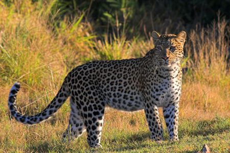 Leopard on the African grass plains