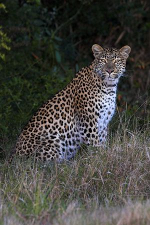 africat: Leopard sitting