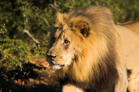 africat: Male Lion