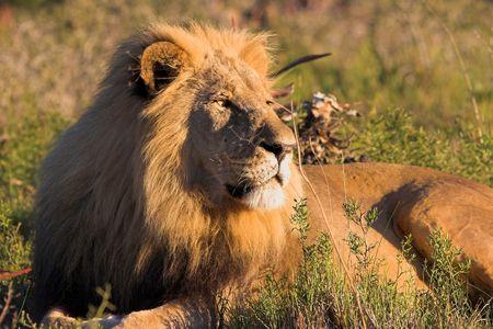 africat: Resting Lion Stock Photo