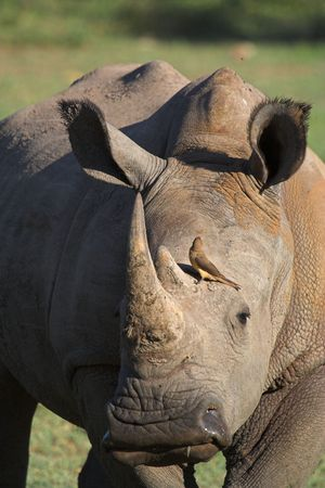 Close up of a White Rhino with an oxpecker searching for ticks photo