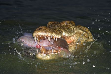 coldblooded: Crocodile Catching a fish in a splash
