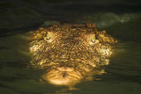 Crocodile Close Up photo