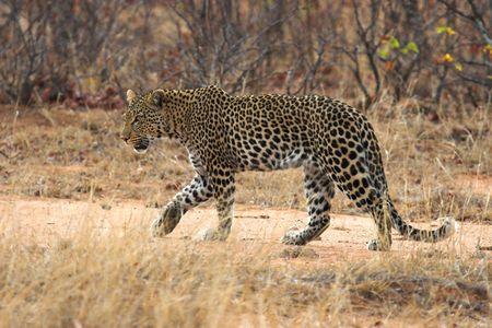 africat: Adult Leopard walking in the african bush