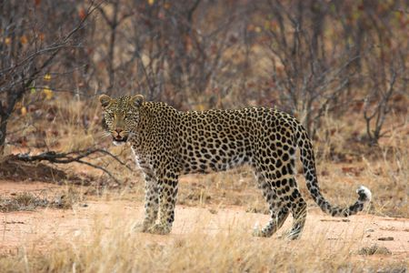 africat: Adult Leopard pausing to look at the camera Stock Photo