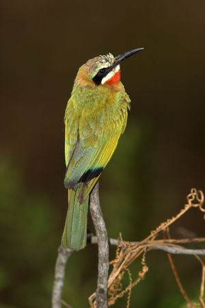 White-Fronted Bee-Eater found in the Kruger National Park Zdjęcie Seryjne