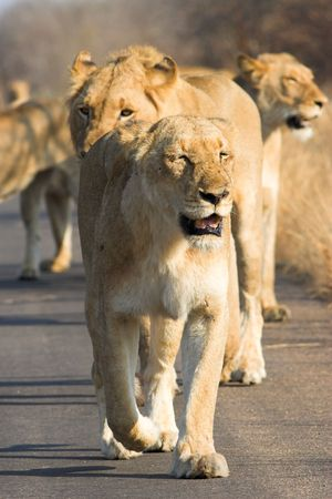 africat: Pack of lions walking down the road Stock Photo