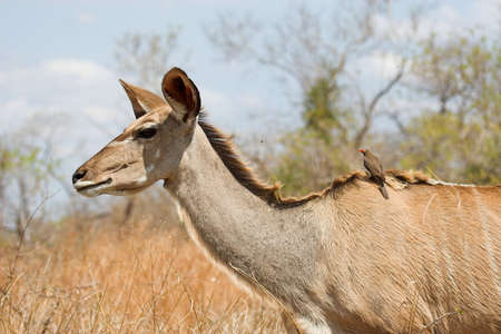 Kudu Female with a Red-Billed oxpecker on her back photo
