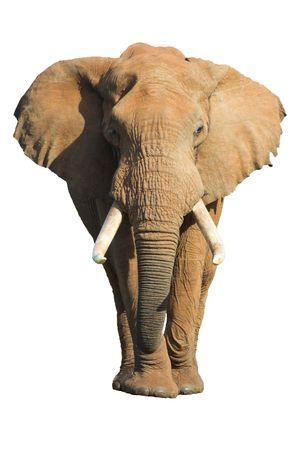 big ear: Male African Elephant isolated on white background Stock Photo