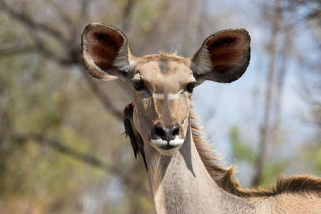 Kudu female with Oxpecker looking at the camera photo