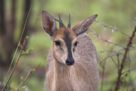 Common, Grey, Grimm's bush duiker front portrait