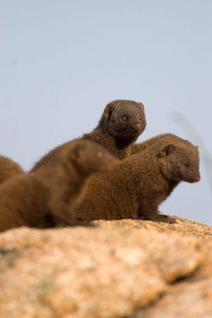 mongoose: Dwarf Mongoose on alert, scouting for danger