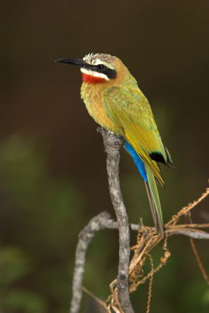 kruger: White-Fronted Bee-Eater found in the Kruger national park Stock Photo